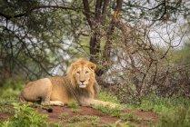 Male lion (Panthera Leo) se trouvant sur la Banque face à la caméra, Tarangire National Park, Tanzanie — Photo de stock