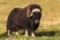 Овцебык (Джордж мускатный), неволе; Территория Юкон, Канада — стоковое фото