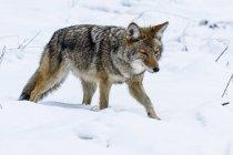Койот (Canis latrans) полювання в снігу в долині Yosemite, Національний парк Йосеміті; Каліфорнія, Сполучені Штати Америки — стокове фото