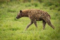 Iena maculata (Crocuta crocuta) Passeggiate attraverso il pascolo nel profilo, cratere di Ngorongoro; Tanzania — Foto stock