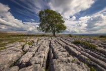 Un arbre solitaire poussant dans le calcaire dans les Yorkshire Dales ; Malham, North Yorkshire, Angleterre — Photo de stock