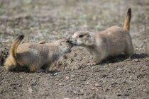 Chiens de Prairie à queue noire (Cynomys ludovicianus), Parc National des Prairies; Saskatchewan, Canada — Photo de stock