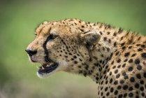 Nahaufnahme der Gepard (Acinonyx Jubatus) Kopf, Blick über die grasbewachsenen Savanne mit offenem Mund. Es hat goldenen Fell mit schwarzen Flecken bedeckt, und es gibt Spuren von Blut auf das Gesicht von einem Kill, die, den es gerade gegessen hat — Stockfoto