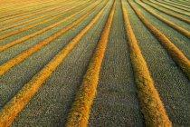 Vista aérea do artista das linhas de colheita de canola brilhando ao pôr do sol; Blackie, Alberta, Canadá — Fotografia de Stock
