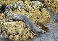 Ущільнення, лежав на скелі в елегантній; Острови Farne, Нортумберленд, Англія — стокове фото