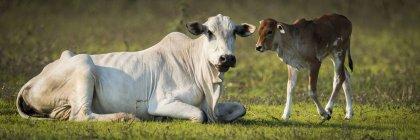 Vaches et veaux Khillari (Bos indicus) regardant vers la caméra, Pantanal ; Mato Grosso do Sul, Brésil — Photo de stock