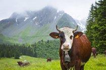 Rinder posieren auf einer Wiese des val montjoie mit der aiguille de la pennaz im Hintergrund; Alpen, Frankreich — Stockfoto