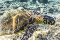 Green Sea Turtle (Chelonia mydas)  searching for food was photographed while snorkelling along the Kona coast; Island of Hawaii, United States of America — Stock Photo