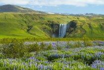Les lupins fleurissent devant la cascade de Skogafoss ; Skoga, Islande — Photo de stock