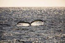 Ende ein Buckelwal (Impressionen Novaeangliae) Hintergrundbeleuchtung durch Sonnenlicht in der Dämmerung; Makawao, Maui, Hawaii, Vereinigte Staaten von Amerika — Stockfoto