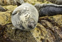 Seals resting on rocks at the water edge; Farne Islands, Northumberland, England — Stock Photo