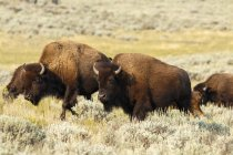 Buffalo in Yellowstone National Park; Wyoming, United States of America — Stock Photo