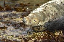 Una guarnizione che riposa sulle rocce al bordo dell'acqua; Isole farne, Northumberland, Inghilterra — Foto stock