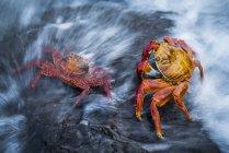 Dos cangrejos Sally Lightfoot (Grapsus grapsus) salpicados por la ola; Islas Galápagos, Ecuador - foto de stock