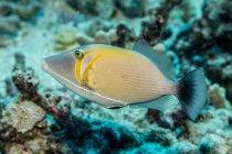 Lei Triggerfish (Sufflamen bursa) fotografiado mientras buceaba a lo largo de la costa de Kona; Isla de Hawaii, Hawaii, Estados Unidos de América - foto de stock