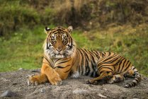 Sumatran Tiger ( panthera tigris sumatrae ) in captivity lying down and looking at the camera; Washington, United States of America — Stock Photo