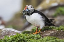 A Puffin ( Fratercula ) with Sand Eels in it's mouth; Farne Islands, Northumberland, England — Stock Photo