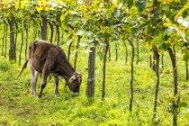 A calf grazing under a row of grapevines; Caldaro, Bolzano, Italy — Stock Photo