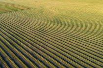 Воздушные виды рапса урожая линии в поле сократить; Блэки, Альберта, Канада — стоковое фото