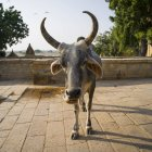 A cow with horns looking at the camera; Jaisalmer, Rajasthan, India — Stock Photo