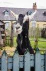 Коза, выглядывающая через синий окрашенный забор; Бимиш, графство Дурхэм, Англия — стоковое фото
