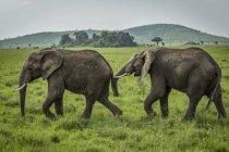 Un elefante africano (Loxodonta africana) ne segue un altro sulle praterie, il Parco Nazionale del Serengeti; Tanzania — Foto stock
