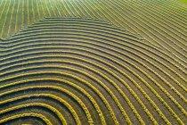 Vistas aéreas das linhas de colheita de canola brilhando ao pôr do sol; Blackie, Alberta, Canadá — Fotografia de Stock