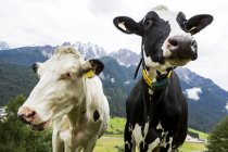 Close-up of two diary cows in an alpine meadow with snow-capped mountains in the background; San Candido, Bolzano, Italy — Stock Photo