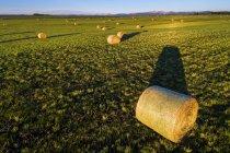 Hale balles au lever du jour dans un champ de coupe avec des collines et de montagnes dans la distance et le ciel bleu, ouest de Calgary; Alberta, Canada — Photo de stock