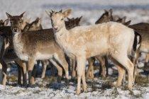Красный олень (Cervus elaphus) и белый олень (dama dama), стоящие в снегу; Лондон, Англия — стоковое фото
