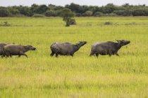 Búfalo de agua (Bubalus bubalis) en un campo de hierba cerca de lago Pearang; Ciudad de Siem Riep, Camboya - foto de stock