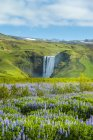 Lupins bloom in front of Skogafoss waterfall; Skoga, Iceland — Stock Photo