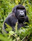 Горилла из семьи Giranzea горилла, сидя в пышной листве с его рот открыть; Северная провинция — стоковое фото