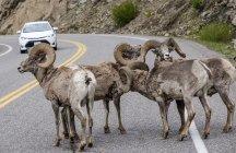 Толсторог (Ovis canadensis) блокируют движение по дороге в Йеллоустонском национальном парке; Вайоминг, Соединенные Штаты Америки — стоковое фото