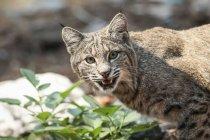 Bobcat ( Lynx rufus ) hunting in Yosemite National Park; California, United States of America — Stock Photo