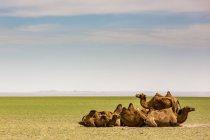 Cammelli sul deserto del Gobi; Ulaanbaatar, Ulaanbattar, Mongolia — Foto stock