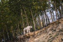 Mountain Goat ( oreamnos americanus ), captive and standing on the edge of a forest on a hillside; Yukon Territory, Canada — Stock Photo