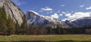 Veado-mula (Odocoileus hemionus) em Yosemite Valley, Yosemite National Park; Califórnia, Estados Unidos da América — Fotografia de Stock
