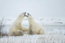 Ours polaires (Ursus maritimus) «jawing» entre eux au cours de leur jeu de combat; Churchill, Manitoba, Canada — Photo de stock