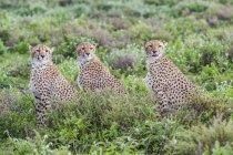 Три гепардов (Acinonyx jubatus), сидя в строке; Ndutu, Танзания — стоковое фото