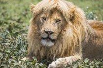 Löwenmännchen (panthera leo) mit tollen Haaren; ndutu, tansania — Stockfoto
