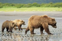 A sow brown bear ( Ursus Americans ) teaches her cubs how to dig for clams at Hallo Bay, Katmai National Park; Homer, Alaska, United States of America — Stock Photo