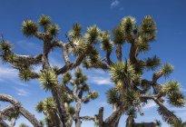 Joshua Tree cactus in the desert; Nevada, Estados Unidos de América - foto de stock