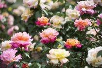 Blossoming roses; Boston, Massachusetts, United States of America — Stockfoto
