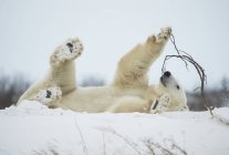 Polar bear ( Ursus maritimus ) playing with a stick in the snow; Churchill, Manitoba, Canada — Stock Photo