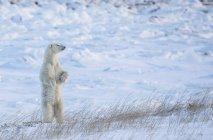 Polar bear ( Ursus maritimus ) standing in the snow looking beautiful; Churchill, Manitoba, Canada — Stock Photo