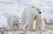 Mother and cub Polar bears ( Ursus maritimus ) walking in the snow; Churchill, Manitoba, Canada — Stock Photo
