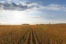 Champ de soja prête à être récoltées, près de Nerstrand; Minnesota, États-Unis d'Amérique — Photo de stock