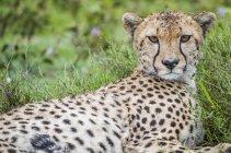 Гепард (Acinonyx jubatus), що лежить на траві; Ndutu, Танзанія — стокове фото