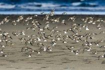 Una bandada de Dunlin (Calidris alpina) vuela a lo largo de la playa durante la migración; Hammond, Oregon, Estados Unidos de América - foto de stock